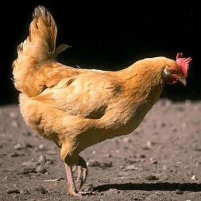 Жанжал: Курицы Актобе - Ақтөбе тауықтары